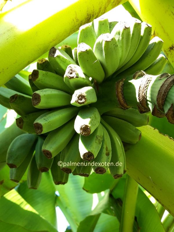 musa basjoo palmen bananen und andere exotische pflanzen. Black Bedroom Furniture Sets. Home Design Ideas