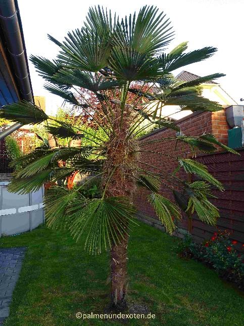 palmen palmen bananen und andere exotische pflanzen. Black Bedroom Furniture Sets. Home Design Ideas